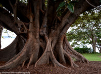 Ficus macrophylla roots in the Roayl Botanical Gardens, Sydney, Australia